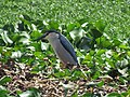 Black-crowned night heron IMG 4943.jpg
