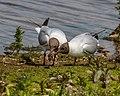 Black-headed Gulls Mating - Second (18037579349).jpg