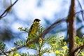 Black-headed grosbeak (48114167502).jpg