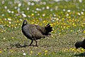 Black-tailed Native Hen (37363798315).jpg