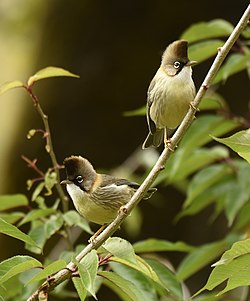 Black-whiskered Yuhina (Pair).jpg