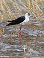 Black-winged Stilt (Himantopus himantopus) (33934391251).jpg