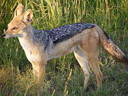 A black-backed jackal in Masaai Mara