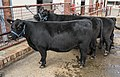 Black Cows at brisbane EKKA-1 (36175500200).jpg