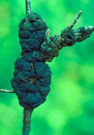 Dibotryon morbosum - Black Knot on Cherry