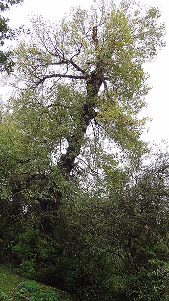 The Chase Nature Reserve - A Black Poplar in The Chase. It is Britain's rarest native tree