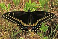 Black Swallowtail - Papilio polyxenes, Occoquan Bay National Wildlife Refuge, Woodbridge, Virginia (33378896073).jpg