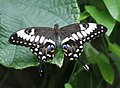 Black Swallowtail Butterfly 1.jpg