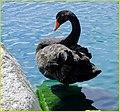 Black Swan, Palm Desert 2-22-14b (12755639665).jpg