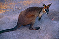 Black Wallaby (Wallabia bicolor) (10002247314).jpg