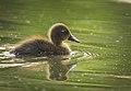 Black duckling (34706198791).jpg