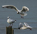 Black headed gulls (1233692611).jpg