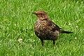 Blackbird-4345966 1920.jpg