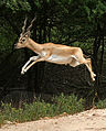Blackbuck (Antilope cervicapra) in Hyderabad, crop.jpg