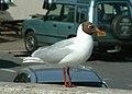 Blackheaded gull - geograph.org.uk - 851981.jpg