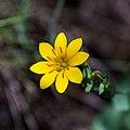 Blackstonia perfoliata-Centaurée jaune-Fleur-20160607.jpg