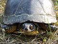 Blanding's Turtle.JPG