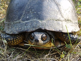 Fauna of Toronto - Blanding's turtles is one of several endangered species that inhabit the city.