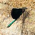 Blauflügel-Prachtlibelle Calopteryx virgo 8240.jpg
