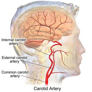 External carotid artery major artery of the head and neck