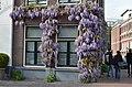 Blauweregen in Rapenburg Nieuwsteeg, Leiden 2018 3.jpg