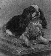 A black and white photograph of a small spaniel sitting, it faces right