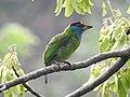 Blue-throated Barbet Megalaima asiatica by Dr. Raju Kasambe DSCN4094 (6).jpg