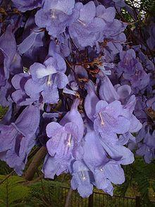 Jacaranda mimosifolia - Wikipedia, the free encyclopedia Jacaranda Mimosifolia Flowers