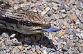 Blue Tongue Lizard (11905047974).jpg