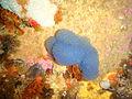 Blue choirboys ascidians at Omega Reef P6237984.JPG