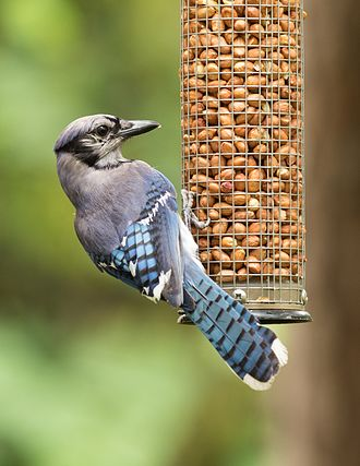 Bird feeder - Blue jay eating at a feeder.