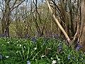 Bluebells of Nackholt Wood - geograph.org.uk - 402195.jpg