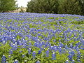 Bluebonnets en Texas 2.JPG