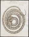 Boa hortulana - 1734-1765 - Print - Iconographia Zoologica - Special Collections University of Amsterdam - UBA01 IZ11900075.tif