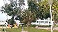 Bodhi Tree in Israel 1a.jpg