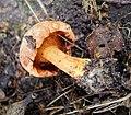 Boletinus clavipes (40116906162).jpg