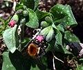 Bombus pascuorum Pulmonaria officinalis 2.jpg