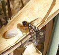 Bombyliidae. Villa sp. - Flickr - gailhampshire (1).jpg