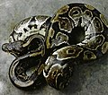 Bonn zoological bulletin - Python regius.jpg