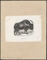 Bos bubalis ferus - 1700-1880 - Print - Iconographia Zoologica - Special Collections University of Amsterdam - UBA01 IZ21200189.tif
