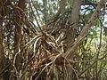 Bosque seco de Guánica.JPG