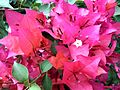 Bougainvillea glabra of Bangladesh 12.jpg