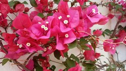 Berkas:Bougainvillea in the wind.webm