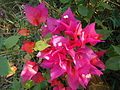 Bouganvilla Flower 1.JPG