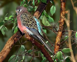 Bourkes parrot species of bird