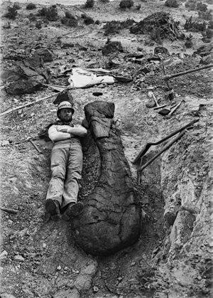 Brachiosauridae - Brachiosaurus humerus bone