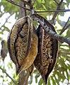 Brachyciton rupestre fruits.jpg