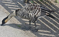 Branta sandvicensis -WWT Slimbridge, Gloucestershire, England-8a.jpg