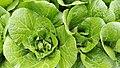 Brassica rapa 3.jpg