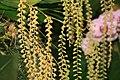 Brassolaeliocattleya Maris Glory 2zz.jpg